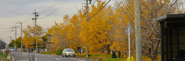 Twitterヘッダー画像:祖父江町のイチョウ並木 - 2(黄色と緑以外の彩度をゼロに)
