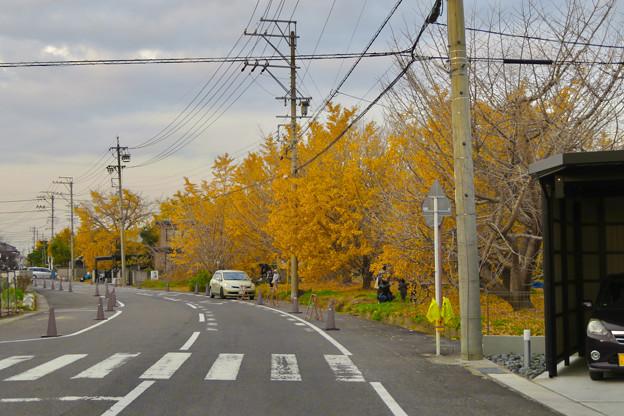 祖父江町のイチョウ並木 - 2(黄色と緑以外の彩度をゼロに)