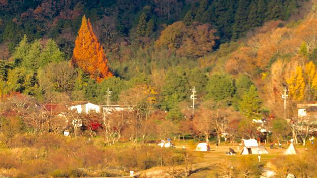 桃太郎神社辺りにあると思われる大きな赤い紅葉した木 - 3