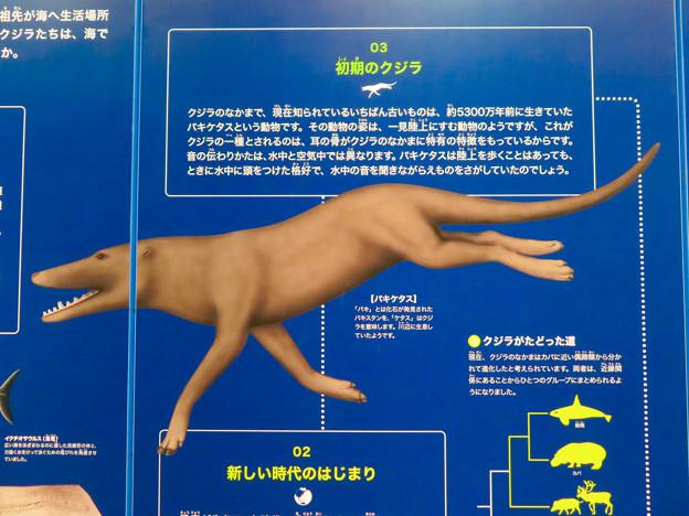 名古屋港水族館:クジラの祖先 - 1(パキケタス)