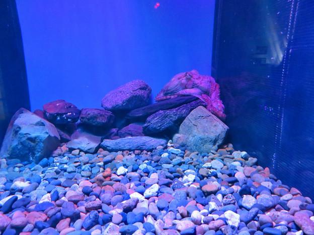 名古屋港水族館:岩とほとんど区別つかなかったミズダコ - 2