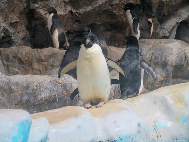 名古屋港水族館:水に飛び込もうとしてる(?)アデリーペンギン