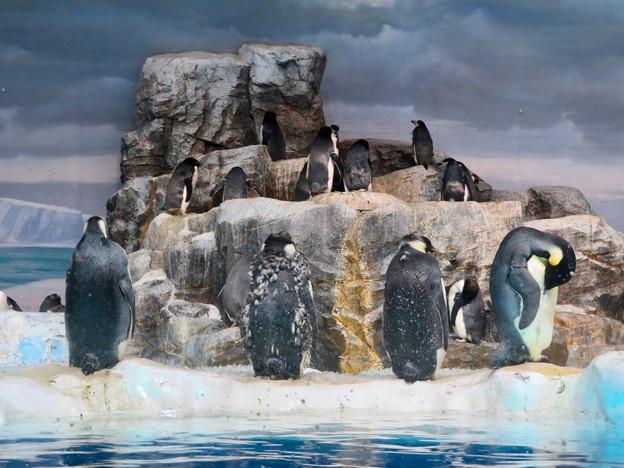 名古屋港水族館:毛が生え変わり中(?)だったコウテイペンギン - 1