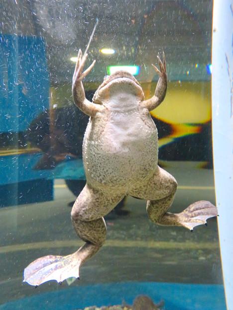 名古屋港水族館「へんカワ展」No - 25:「光あれぇ~!」みたいなポーズで泳いでたアフリカツメガエル