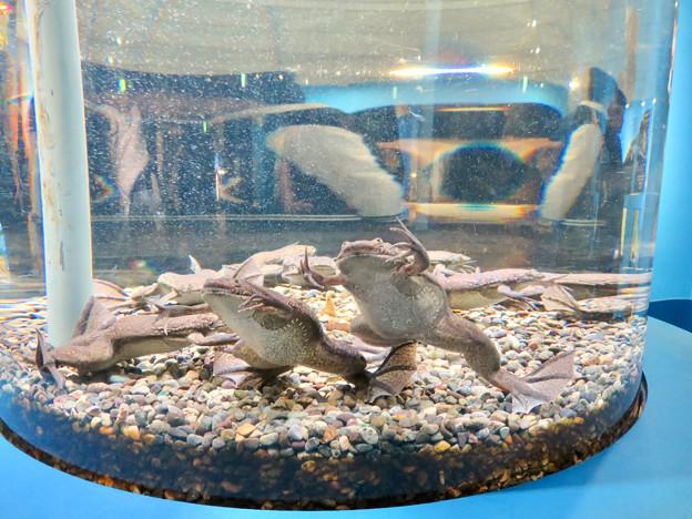 名古屋港水族館「へんカワ展」No - 28:「カモォ~~ン!!」って感じのポーズしてたアフリカツメガエル