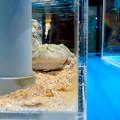 名古屋港水族館「へんカワ展」No - 35:ユーモラスな顔の「マルメタピオカガエル」