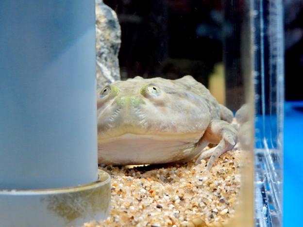名古屋港水族館「へんカワ展」No - 36:ユーモラスな顔の「マルメタピオカガエル」