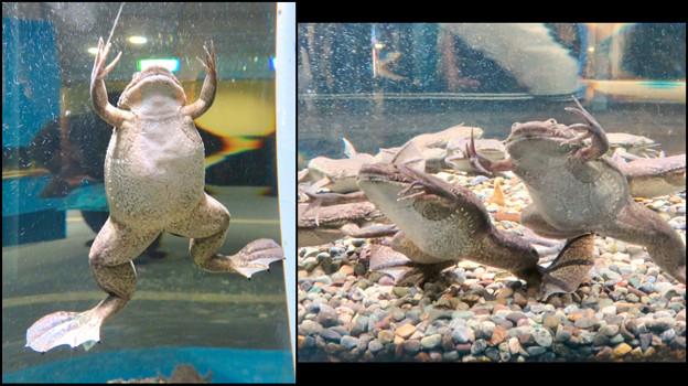 名古屋港水族館「へんカワ展」No - 39:ユーモラスなポーズをとってくれた(?)アフリカツメガエル