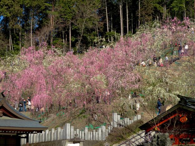 梅が満開だった大縣神社 2019 - 6