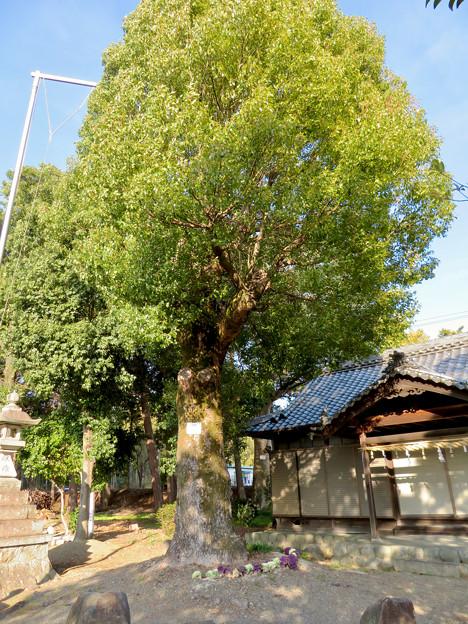 鳴海杻(なるみてがし)神社 - 12:巨大なクスの木