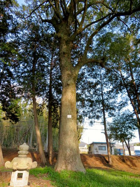 鳴海杻(なるみてがし)神社 - 22:巨大なクスの木