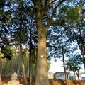 Photos: 鳴海杻(なるみてがし)神社 - 22:巨大なクスの木