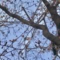 Photos: わずかに開花してた朝宮公園の桜(ソメイヨシノ、2019年3月22日) - 7