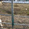 春日井市出川町:放牧されてたヤギ - 1