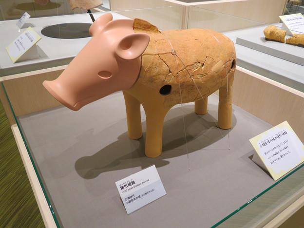 しだみ古墳群ミュージアム「SHIDAMU(しだみゅー)」展示室 No- 44:小幡長塚古墳から出土した猪形埴輪