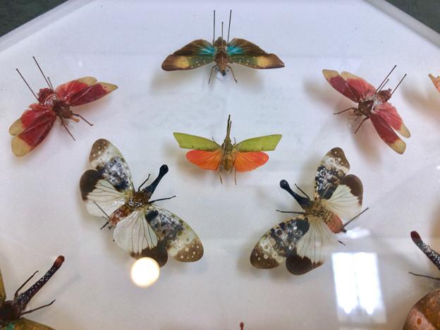 ツインアーチ138:アートする昆虫展 No - 9(美しい姿をしたテングビワハゴロモ)
