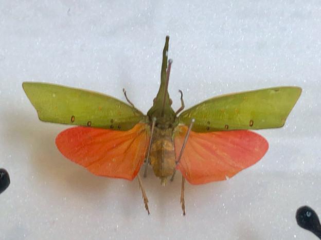 ツインアーチ138:アートする昆虫展 No - 10(美しい姿をしたテングビワハゴロモ)