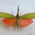 Photos: ツインアーチ138:アートする昆虫展 No - 10(美しい姿をしたテングビワハゴロモ)