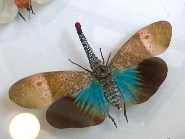 ツインアーチ138:アートする昆虫展 No - 12(美しい姿をしたテングビワハゴロモ)