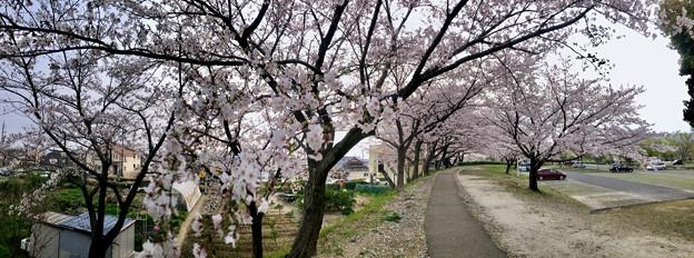 満開だった落合公園の桜(2019年4月7日) - 17:パノラマ