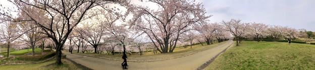 満開だった落合公園の桜(2019年4月7日) - 34:パノラマ