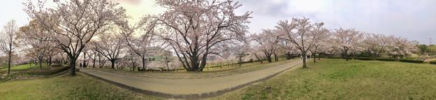 満開だった落合公園の桜(2019年4月7日) - 35:パノラマ