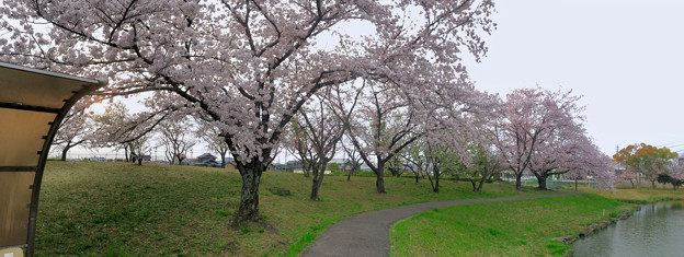満開だった落合公園の桜(2019年4月7日) - 45:パノラマ