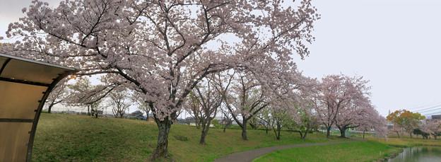 満開だった落合公園の桜(2019年4月7日) - 46:パノラマ