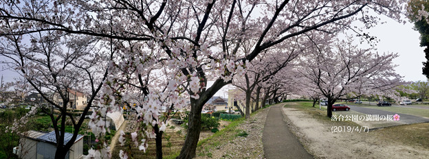 Twitterヘッダー画像:満開だった落合公園の桜 2019
