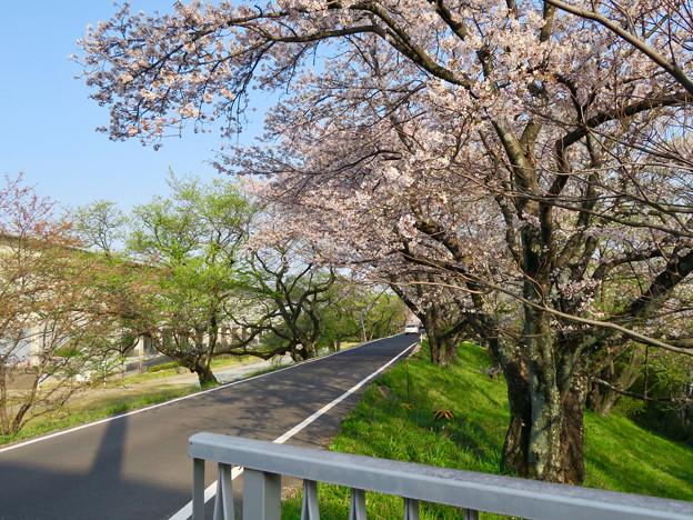 一宮総合体育公園裏の道沿いの桜