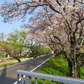 Photos: 一宮総合体育公園裏の道沿いの桜