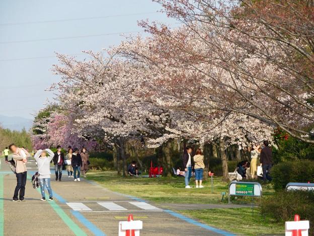 138タワーパークの桜 - 1
