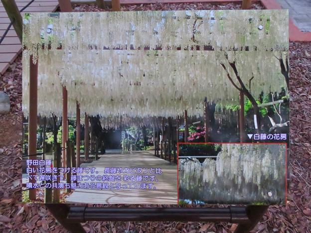 シーズンオフの曼陀羅寺公園 - 8:満開の頃の藤棚の写真