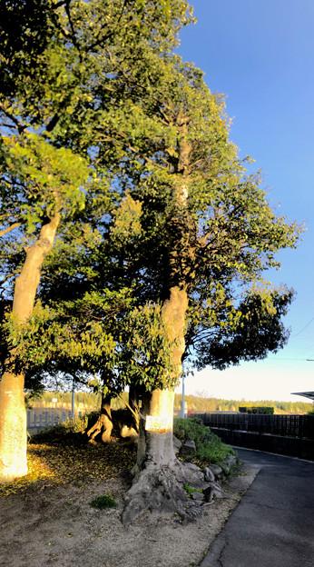 子安神明社 - 8:保存樹の「クロガネモチ」(パノラマ)