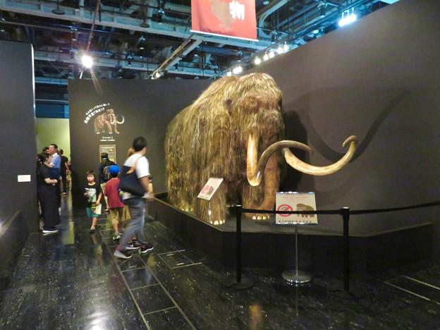 名古屋市科学館「絶滅動物研究所」展 No - 4:ケナガマンモスのリアル模型