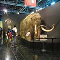 Photos: 名古屋市科学館「絶滅動物研究所」展 No - 4:ケナガマンモスのリアル模型