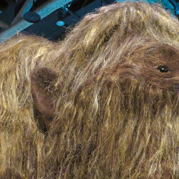 名古屋市科学館「絶滅動物研究所」展 No - 8:ケナガマンモスのリアル模型(小さい耳)