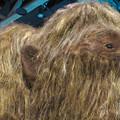 Photos: 名古屋市科学館「絶滅動物研究所」展 No - 8:ケナガマンモスのリアル模型(小さい耳)