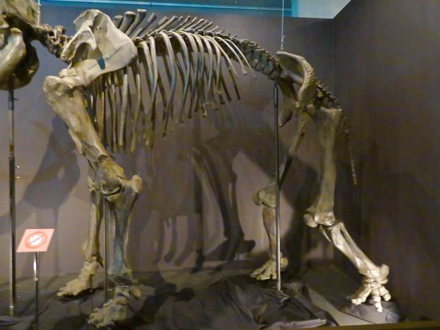 名古屋市科学館「絶滅動物研究所」展 No - 10:マンモスの骨格標本