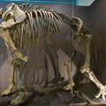 Photos: 名古屋市科学館「絶滅動物研究所」展 No - 10:マンモスの骨格標本