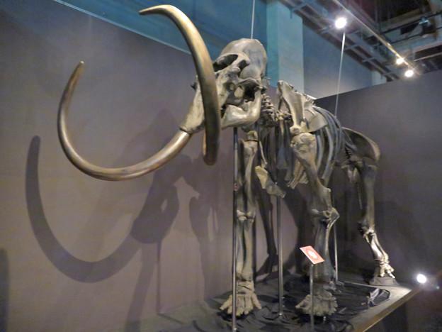 名古屋市科学館「絶滅動物研究所」展 No - 13:マンモスの骨格標本