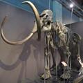 Photos: 名古屋市科学館「絶滅動物研究所」展 No - 13:マンモスの骨格標本