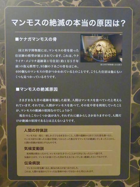 名古屋市科学館「絶滅動物研究所」展 No - 16:マンモスの説明(絶滅理由について)