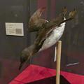 Photos: 名古屋市科学館「絶滅動物研究所」展 No - 25:ウミガラスの剥製