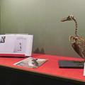Photos: 名古屋市科学館「絶滅動物研究所」展 No - 32:オオウミガラスの骨格標本とオオウミガラスが描かれた本