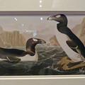 Photos: 名古屋市科学館「絶滅動物研究所」展 No - 35:オオウミガラスの絵