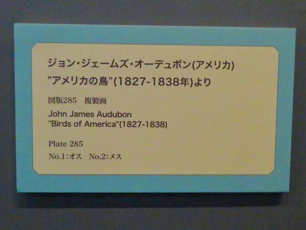名古屋市科学館「絶滅動物研究所」展 No - 39:リョコウバトが描かれた絵の説明