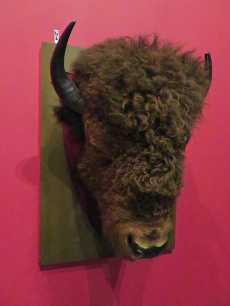 名古屋市科学館「絶滅動物研究所」展 No - 56:アメリカバイソンの頭部の剥製
