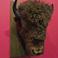 Photos: 名古屋市科学館「絶滅動物研究所」展 No - 56:アメリカバイソンの頭部の剥製