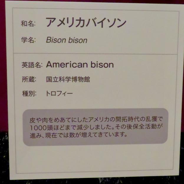 名古屋市科学館「絶滅動物研究所」展 No - 57:アメリカバイソンの説明